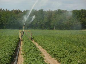potato 839469 1920 300x225 - crop-water